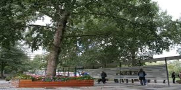 Wordt 'de boom die alles zag' Nederlandse boom van het jaar?